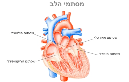 heartstructure11.jpg
